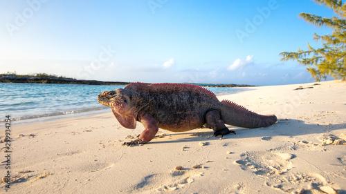 canvas print picture Echsen am Strand von Exuma, Bahamas