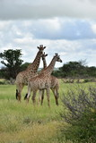Fototapeta Sawanna - group of giraffe on plains in Kruger national park © gallas