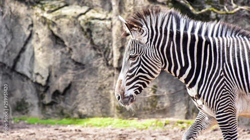 zebra - 259951420