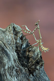 mantis - empusa sp.