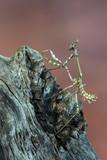mantis - empusa sp.
