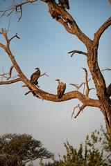 Abutres africanos pousados em tronco de árvore morta