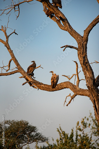 Abutres africanos pousados em tronco de árvore morta © Lauro