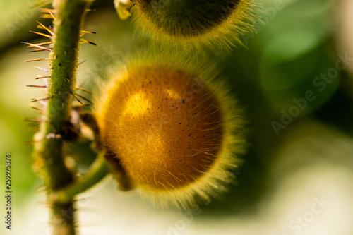 canvas print picture Gelbe Solanum Ferox, Aubergine