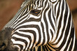 Closeup Portrait of a Grant's Zebra at the zoo