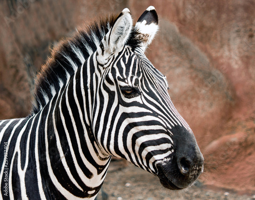Closeup of a Grant's Zebra at the zoo