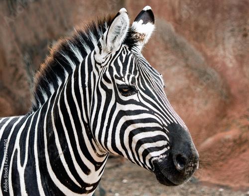 Closeup of a Grant's Zebra at the zoo - 259977404