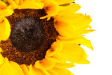 Brilliantly Yellow Sunflower on a White Background