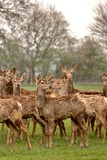 herd of young reindeer in a field coats falling off due to age