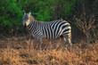 Zebra Tsavo West Kenya