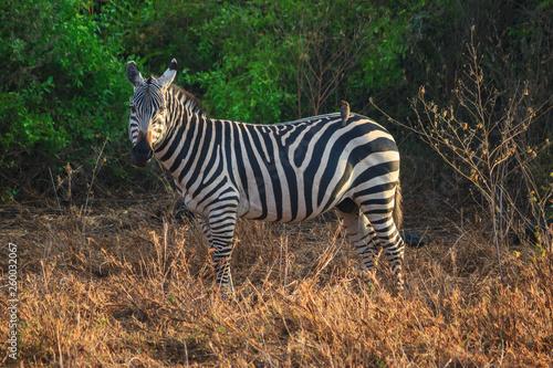 Zebra Tsavo West Kenya - 260032067