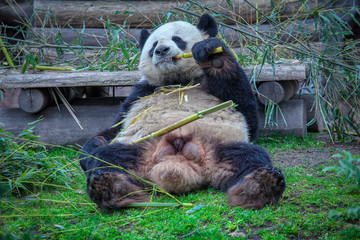 Cute funny Panda Eating Bamboo
