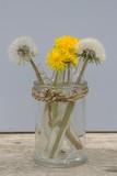 Fototapeta Fototapeta z dmuchawcami - pissenlit jaune et fané, concept du printemps © Patryssia