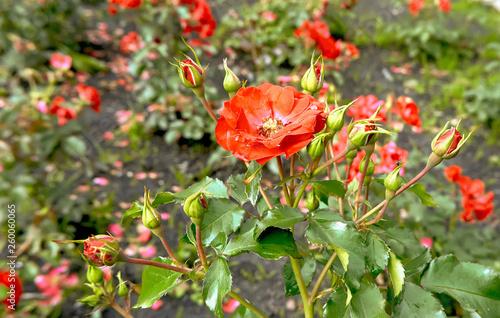 Red roses in the garden © nekrasov50