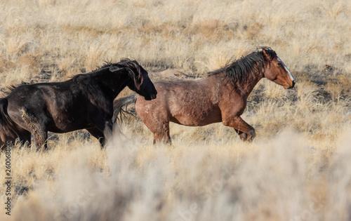 Wild Horses in Utah in WEinter