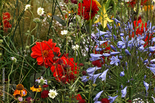 A close up picture of Dahlis and Agaphanthus in a colourful flower border