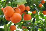 Ripe mandarin oranges (Citrus reticulata) in tree. Delicious fruits with foliage. Copy space for text.