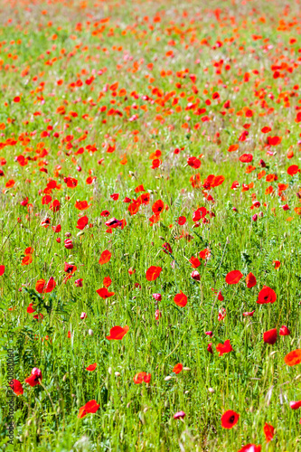canvas print picture meadow with poppies, Provence, France