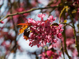 Pommier d'ornement à feuillage pourpre (Malus coccinella) ou pommier d'ornement à floraison rose pourpre