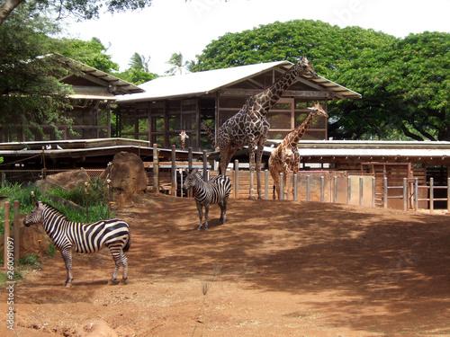 Giraffe zebra in zoo Hawaii - 260091097