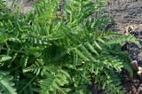 Mak wschodni, młoda roślina wiosną, liście, Papaver orientale
