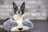 Cute chihuahua puppy with big pokemon toy in studio