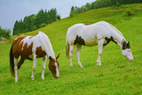 Fototapeta Fototapety z końmi - Horses on the pasture © Sergej Razvodovskij