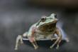 northwest tree frog