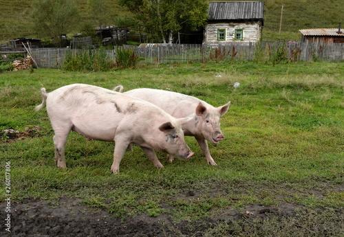 fototapeta na ścianę Pigs in the vicinity of the village Generalka Altai Territory
