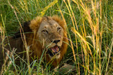 Male lion lying panting profusely while trying to cool down in the shade