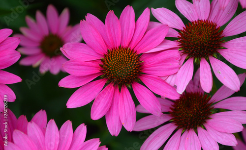 Rudbeckia. The species are commonly called coneflowers and black-eyed-susans; all are native to North America and many species are cultivated in gardens for their showy yellow or gold flower heads.  - 260128239