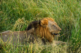 Male lion lying in the long grass in the shade of a tree to rest