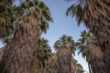 Palm trees in cafornia - 260133686