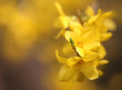 Forsythia known as spring flower