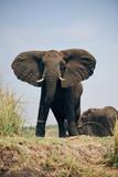Group of big elephants, Loxodonta africana.