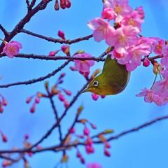 青空バックに河津桜とメジロのコラボ
