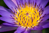 Close up of purple water lily.