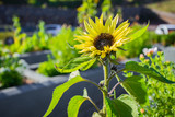 Sunflower growing in the domestic garden, against blue sky for beautiful floral background. Vibrant nature image.