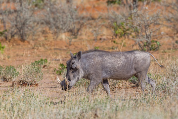 one warthog (phacochoerus aethiopicus) walking in dry grassland