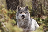 wolf in forest in Norway