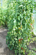 canvas print picture - Tomatenpflanzen mit Tomaten  im Gewächshaus