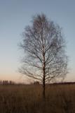 Single birch tree growing in tall grasses