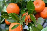 Bunch of ripe mandarins in mandarin orange tree.