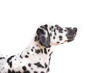One Headshot of young dotted Dalmatian puppy