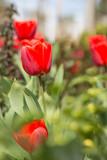 tulips in home-garden countryside