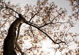 Fototapeta Fototapety na ścianę - A Low Vantage Point to the leaves of Sacred Fig Tree , Looking up to the sky © Satakorn