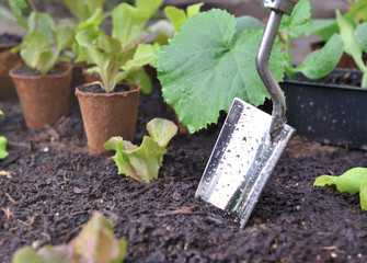 shovel covered with drops planting in wet soil among leaf of vegetable plants