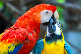 A blue and yellow macaw share some special momment with a scarlet macaw. Photography captured near Cartagena, Colombia.