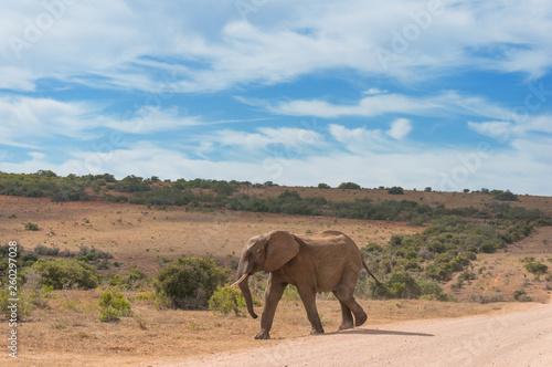 Wild elepant bull in African savannah landscape © esmehelit
