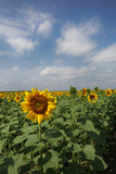 Yellow flowers of a sunflower grow in a field on a sunny summer day